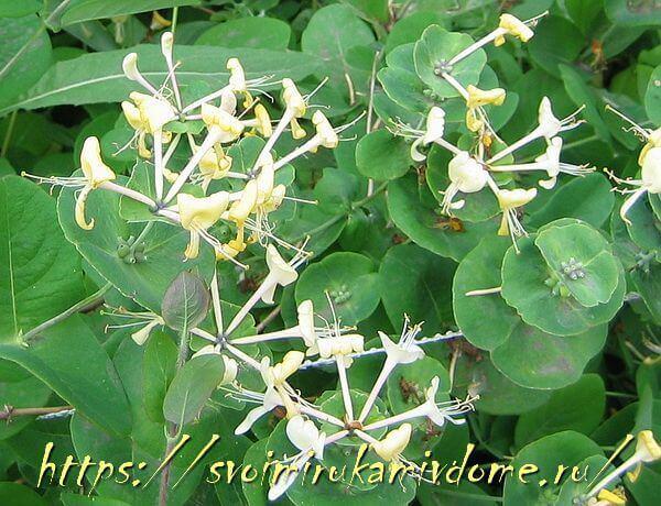 Жимолость каприфоль - цветки, листья