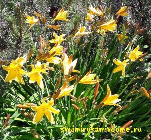 Куст лилейника жёлтого