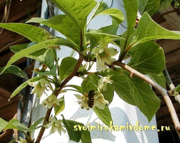 Лимонник привлекает насекомых на цветки