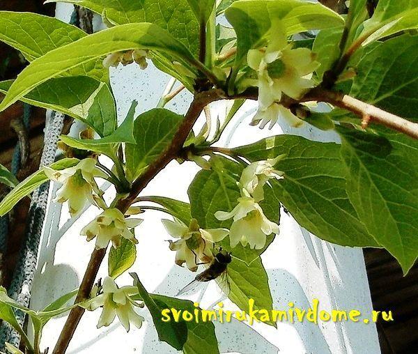 Лимонник цветёт в саду