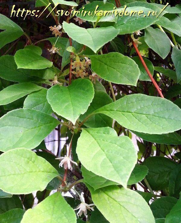 Цветение лимонника в моём саду