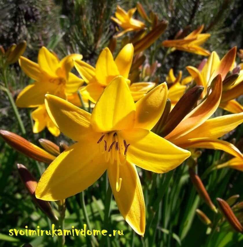 Цветки лилейника жёлтого