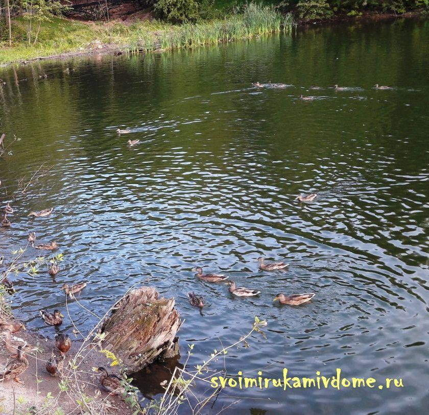 Утки с северной стороны пруда в парке