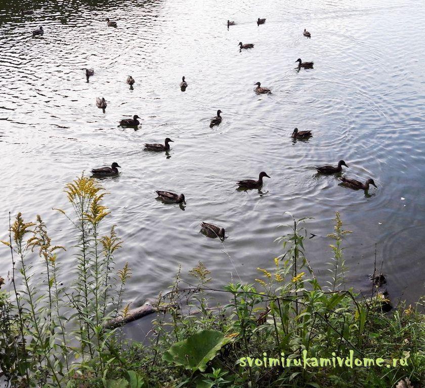 Утки с восточной стороны пруда в парке