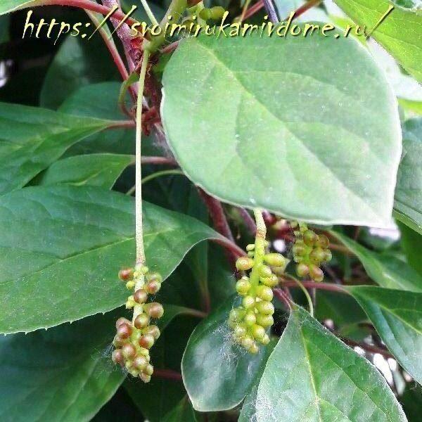 Зелёные ягоды лимонника на участке