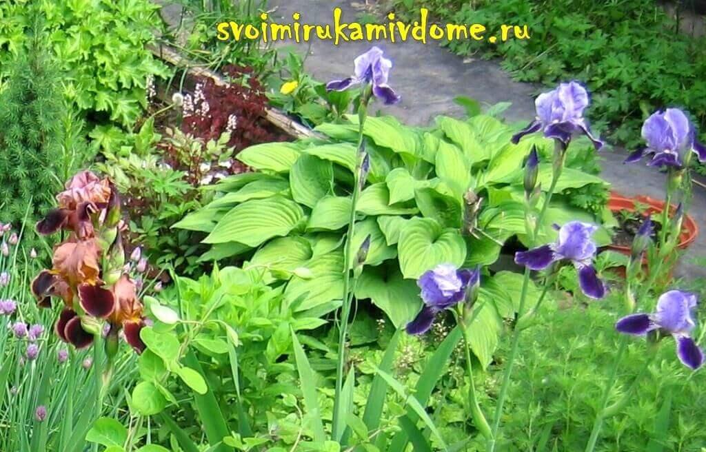 Хоста в цветнике в моём саду