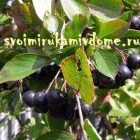Кисти ягод и листья аронии в августе