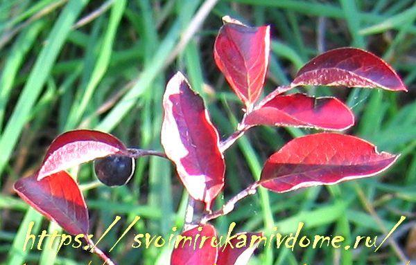 Кизильник блестящий ранней осенью