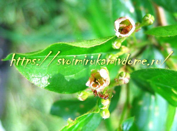 Кизильник блестящий цветёт в мае