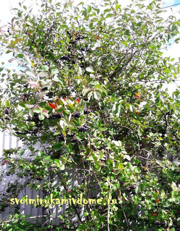 Куст аронии со спелыми ягодами