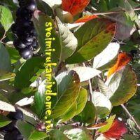 Листья аронии ближе к осени