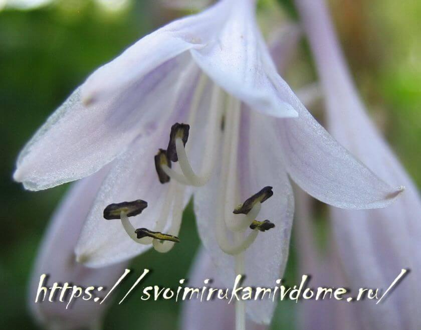 Нежный цветок хосты расцвёл
