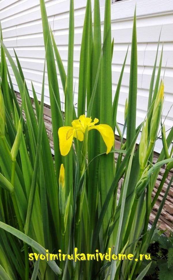 Первый цветок ириса болотного у дома