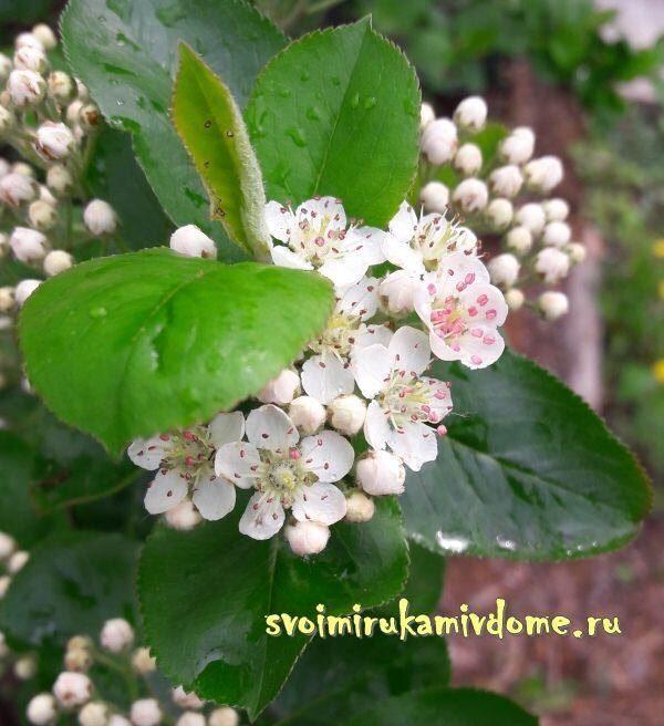 Цветки аронии в саду