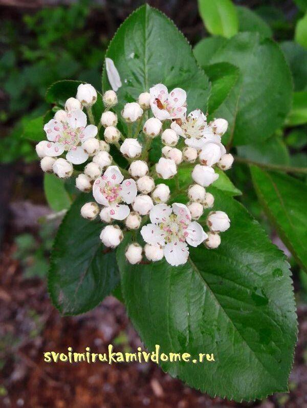 Цветки и листья аронии в мае