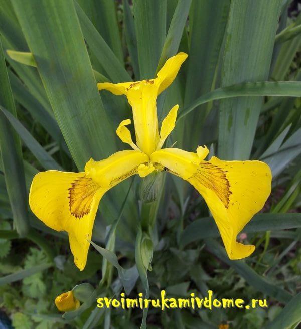 Цветок ириса болотного в саду