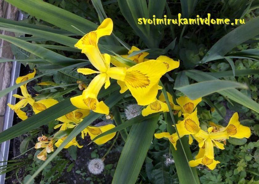 Цветы ириса болотного на участке