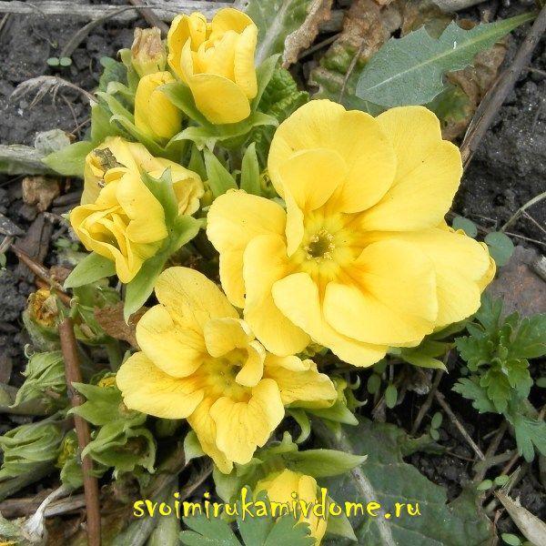 Цветы примулы жёлтой 30 апреля