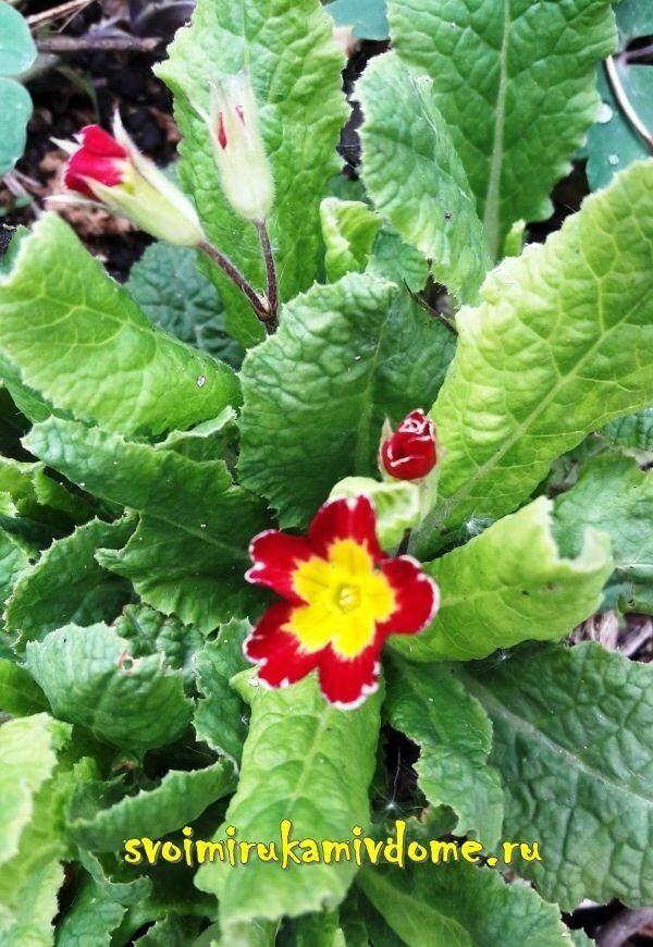Цветочек примулы расцвёл в саду