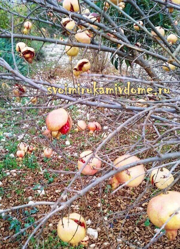 Гранатовое дерево с плодами, Италия