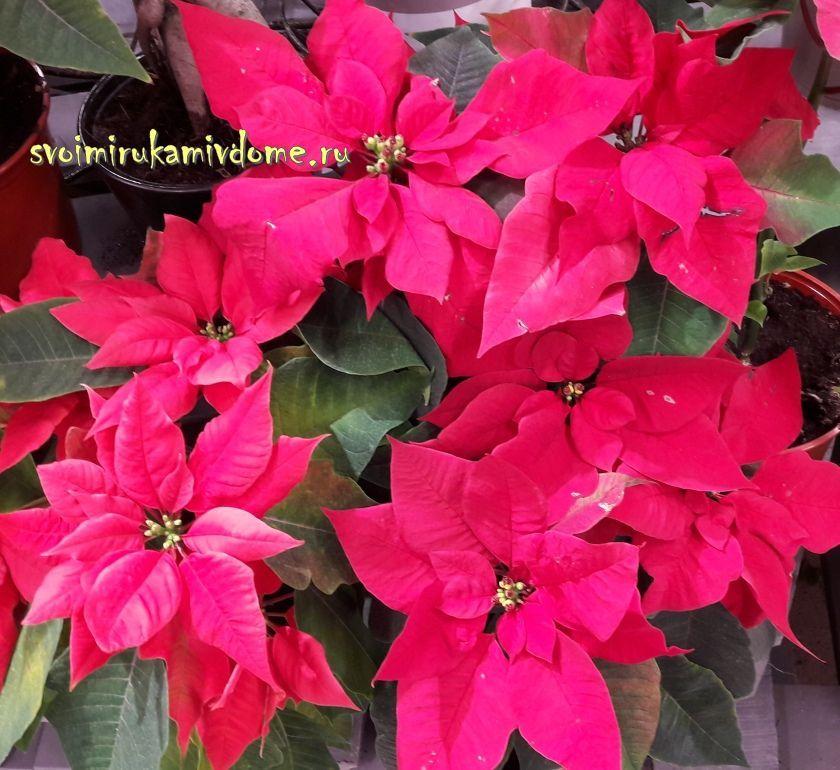 Пуансеттии красные- рождественские звезды
