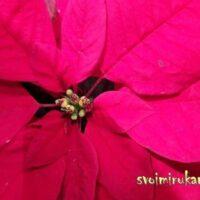 Цветки и прицветники молочая прекраснейшего
