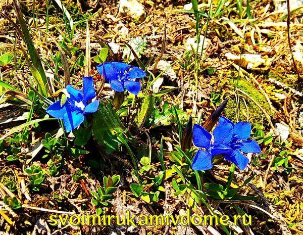 Голубые цветочки в горах Баварии