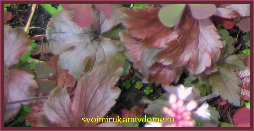 Листья гейхеры в цветнике