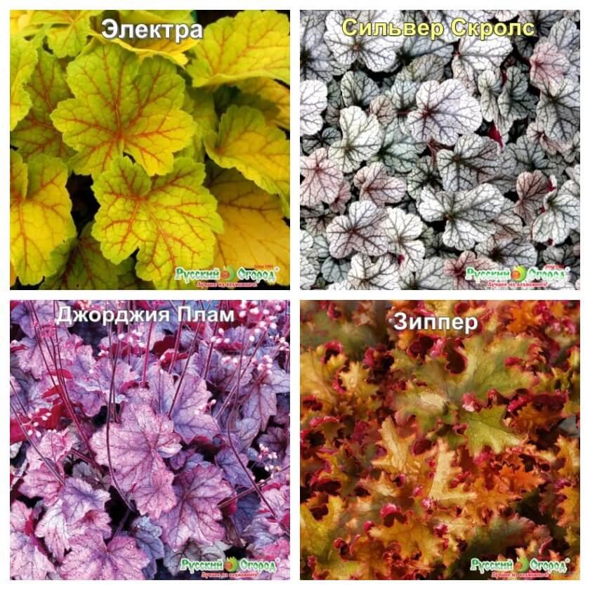 Сортовые гейхеры разных цветов