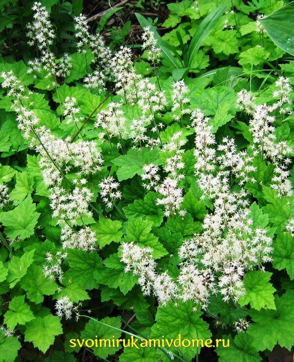 Цветение гейхеры в саду