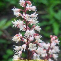 Цветы гейхеры на цветоносе