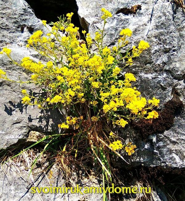 Жёлтые цветы на камнях в Баварии