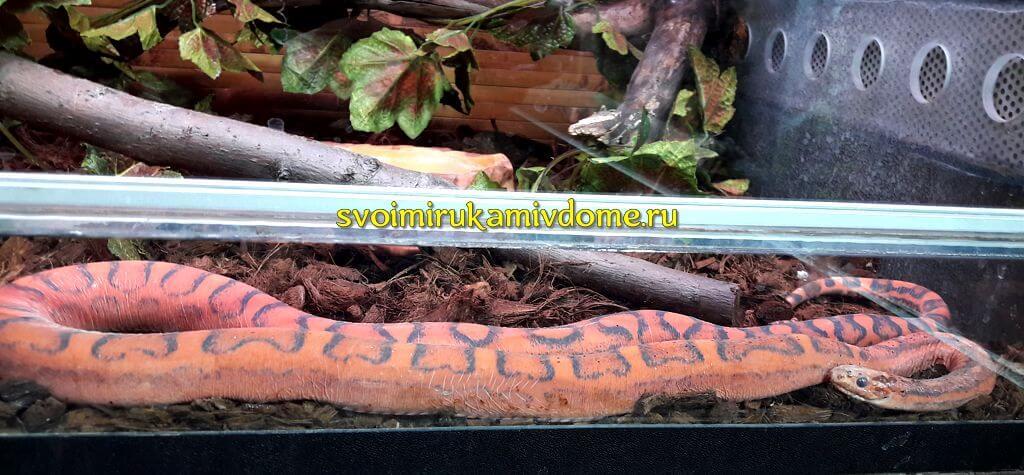 Маисовый полоз (Corn snake) в экзотариуме Тулы