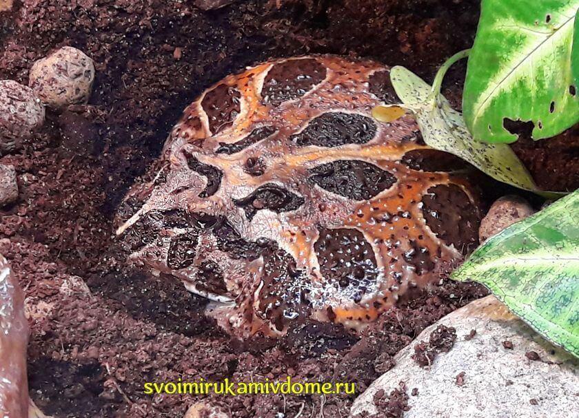 Чакская рогатка в экзотариуме Тулы