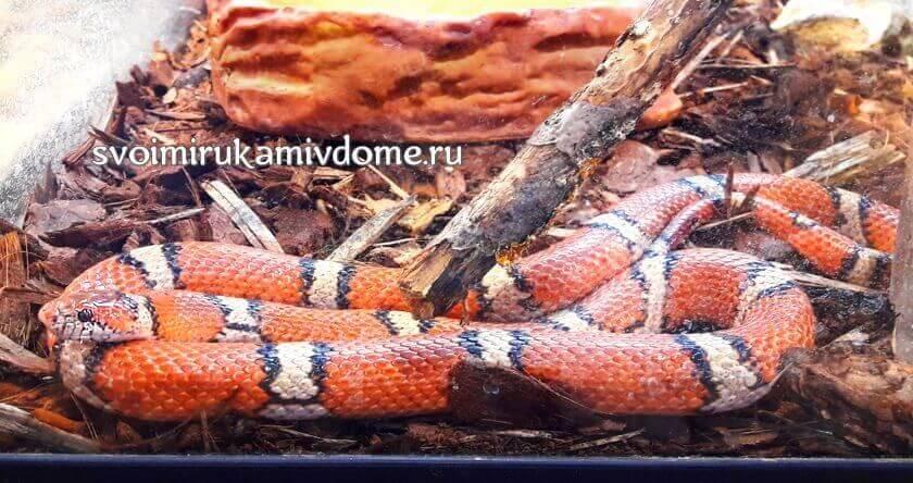 Молочная змея (Milk snake) в экзотариуме Тулы