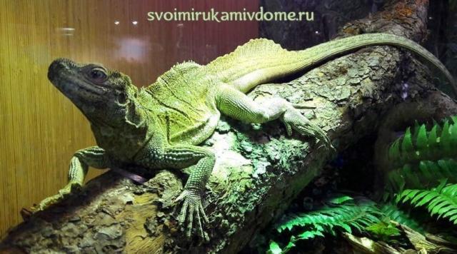 Парусная ящерица в экзотариуме Тулы