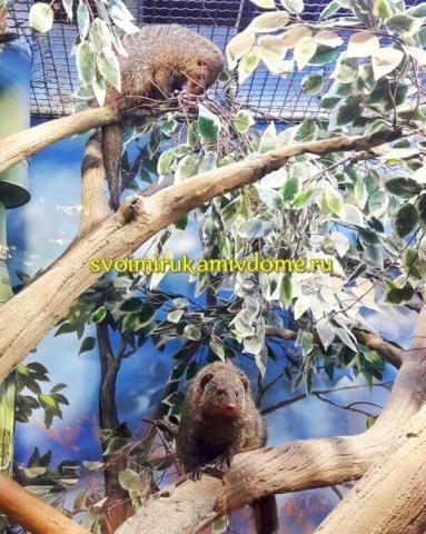 Полосатые мангусты в экзотариуме Тулы