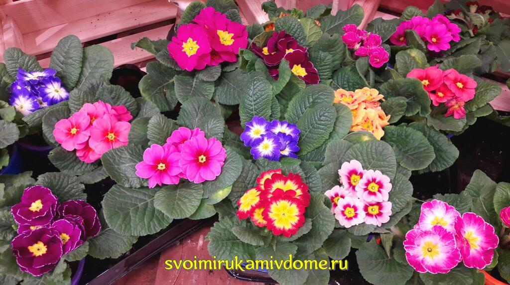 Многолетний цветок примула – фото, посадка и уход