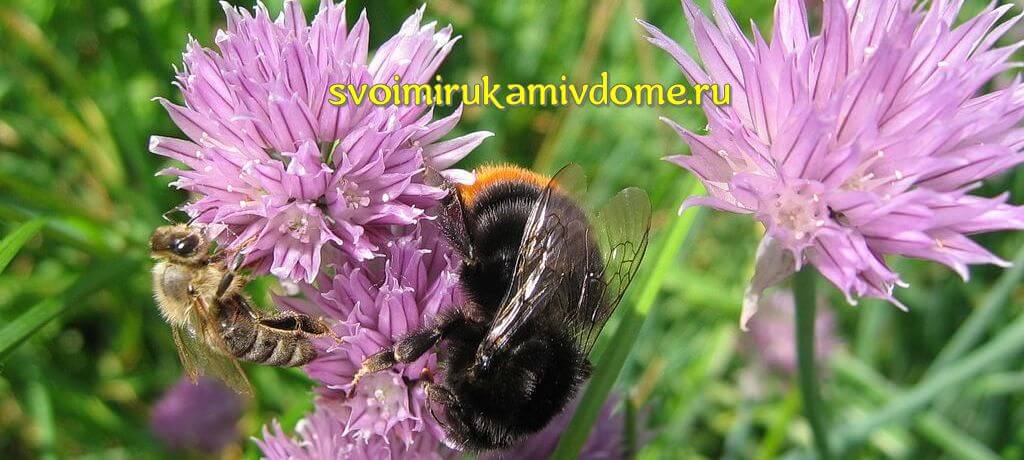 Шмель и пчела на шнитт-луке