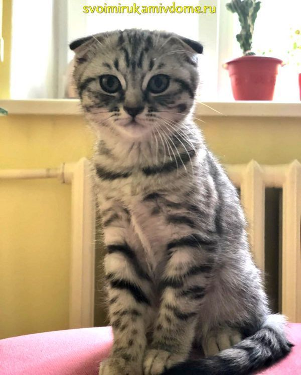 Лиона котёнок