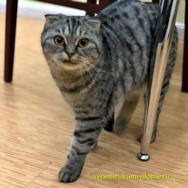Лиона взрослая кошка