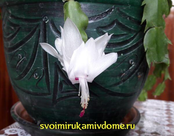 Комнатный цветок декабрист — фото