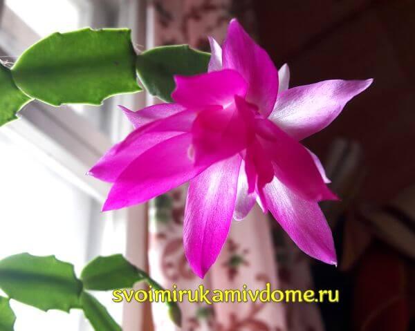 Цветок декабриста, вид снизу