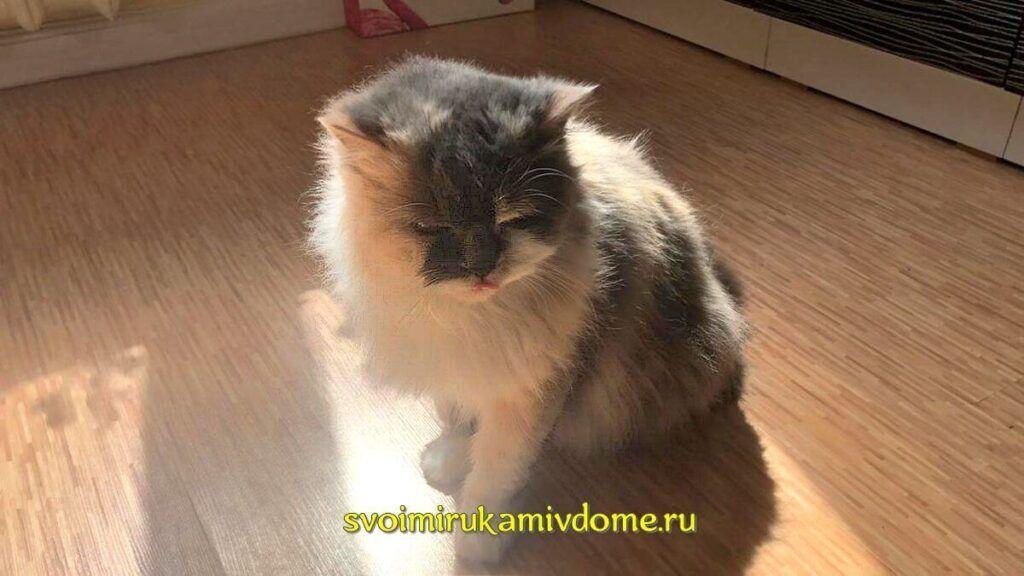 Кошка Мона вылизывается