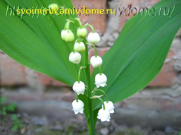 Ландыш цветёт у дома