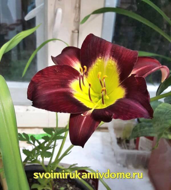 Цветок лилейника Найт Бекон на окне