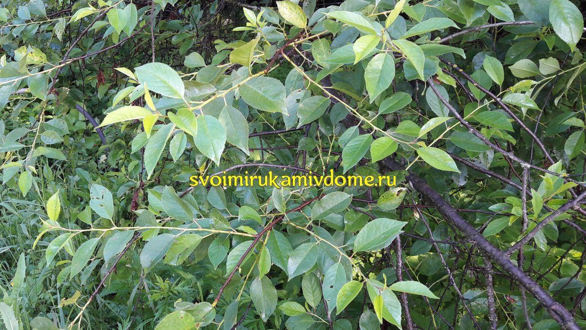 Чай из листьев, полезные свойства