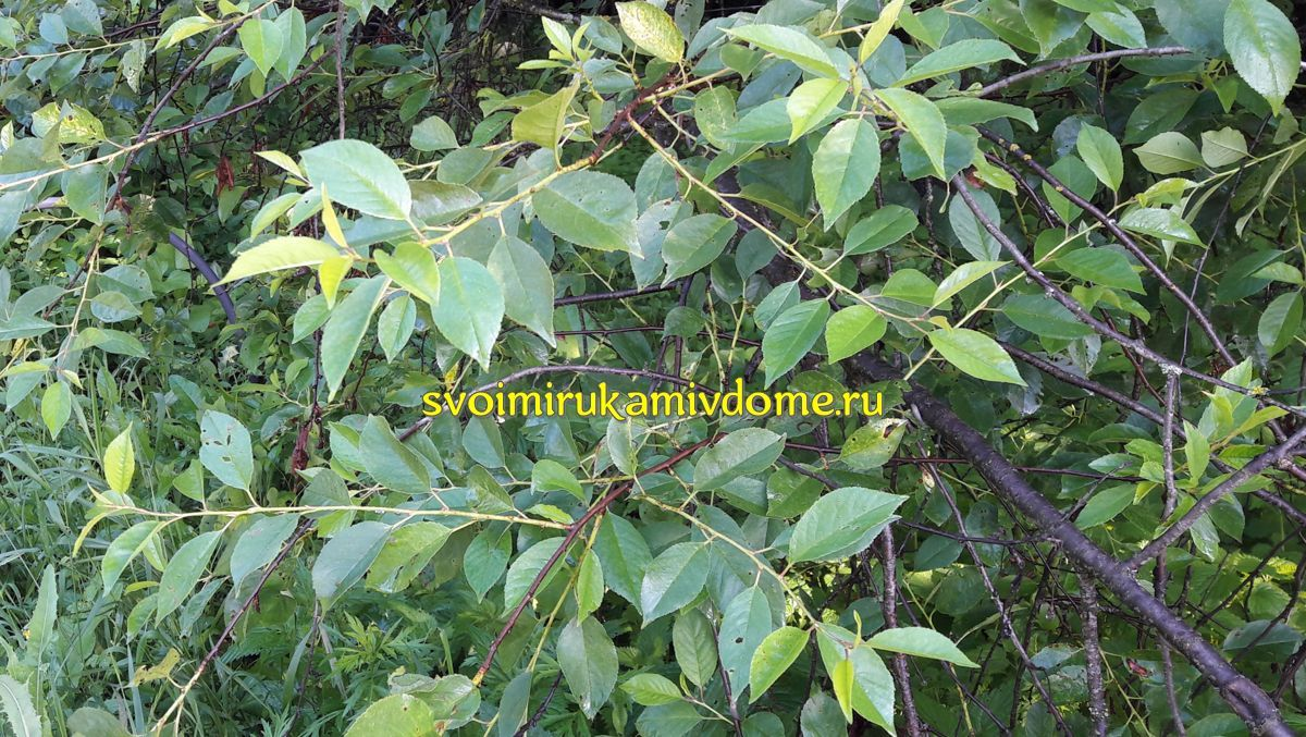 Листья, ветки вишни