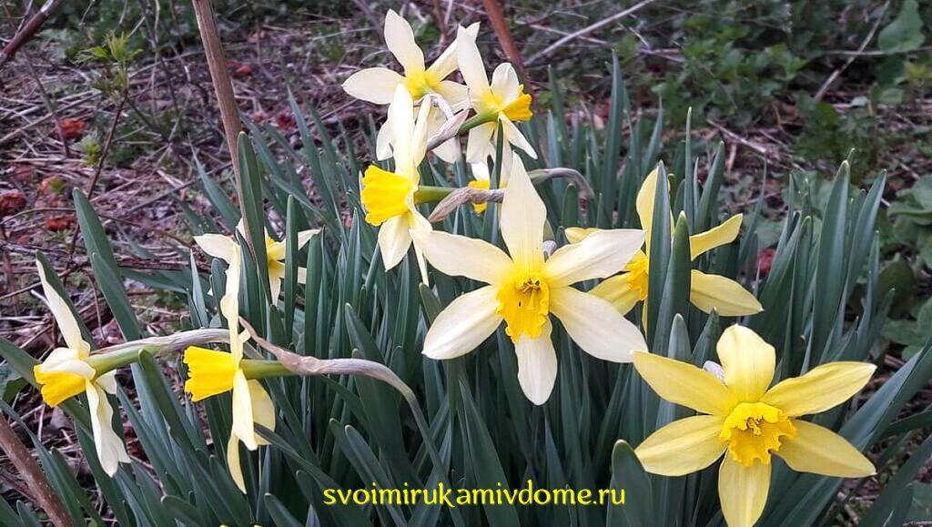 Нарциссы цветут 26.4