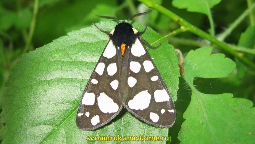 Бабочка Медведица деревенская (Arctia villica)